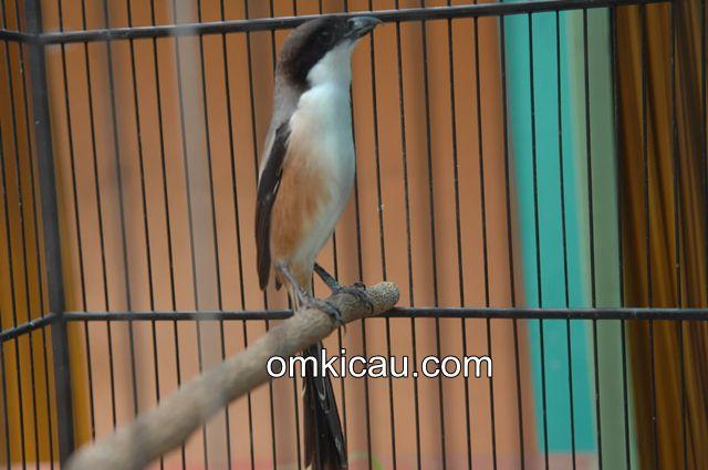 Burung cendet dengan gaya nagennya yang khas
