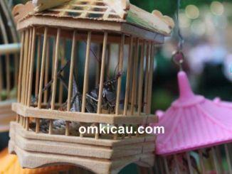 Tips dan cara merawat serangga untuk masteran