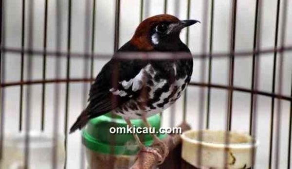Memahami kondisi birahi burung anis kembang