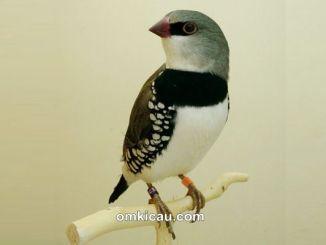 Diamond firetail finch atau diamond sparrow
