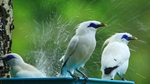 gambar burung jalak bali jantan dan betina