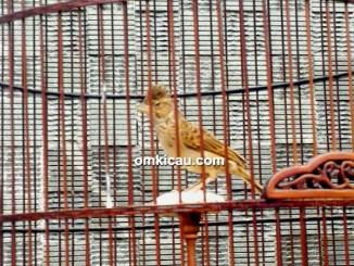 perawatan burung branjangan kombar