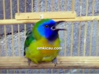 perawatan burung kinoi