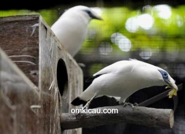 penangkaran burung dilindungi