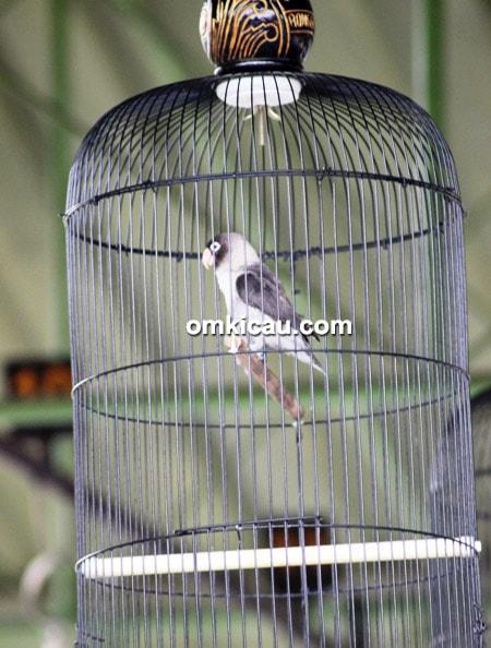 lovebird Black Sapier