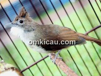 Perawatan burung cucak jenggot yang tidak segacor ketika pertama kali dirawat
