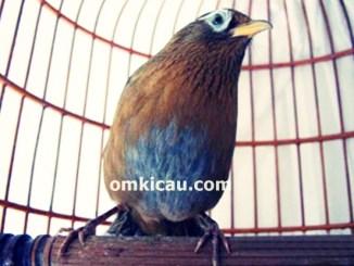 Burung hwamei asal negeri Cina
