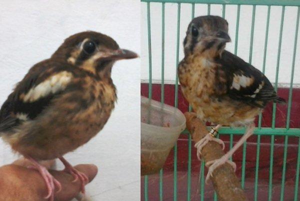 perkembangan burung anis kembang