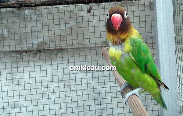 Lovebird Kopassus