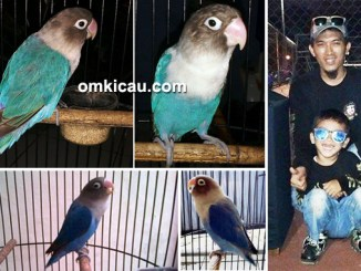 lovebird Mc Riweuh