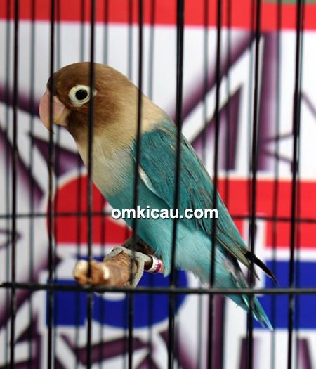 Lovebird Seruni