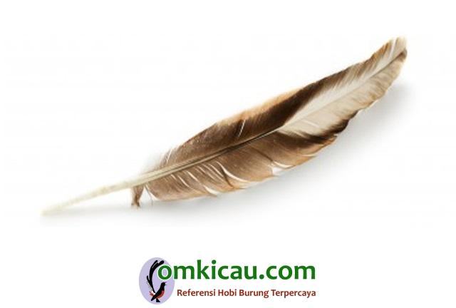 Tips aman merontokkan bulu bandel burung mabung