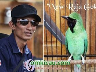 cucak ijo New Raja Goki