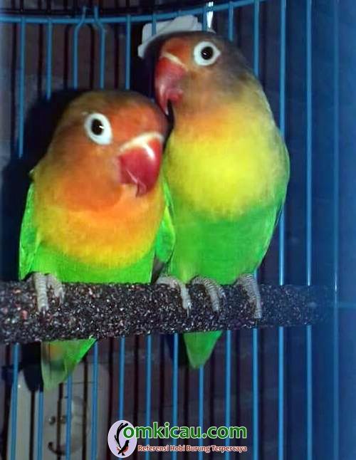 Nabylah Fitriani Bird Farm