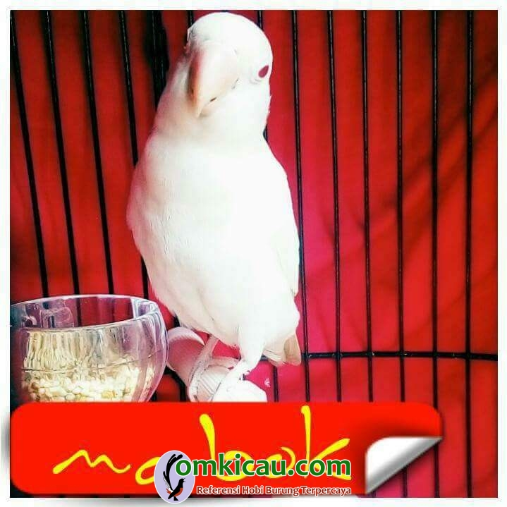 lovebird Mabok