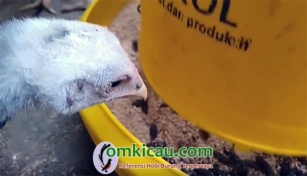 ayam makan maggot