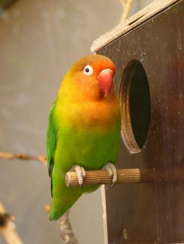 Download Suara Burung Selendang Biru : download, suara, burung, selendang, Suara, Burung, Terbaik, Untuk, Masteran,, Betina