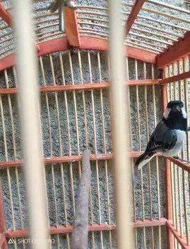 Download Suara Burung Selendang Biru : download, suara, burung, selendang, Mengenal, Jenis, Burung, Gelatik, (Makanan,, Suara, Harganya)