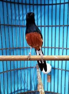 Download Suara Burung Selendang Biru : download, suara, burung, selendang, Suara, Mewah, Kicauan, Burung, Murai, Gacor, Juara, Lomba