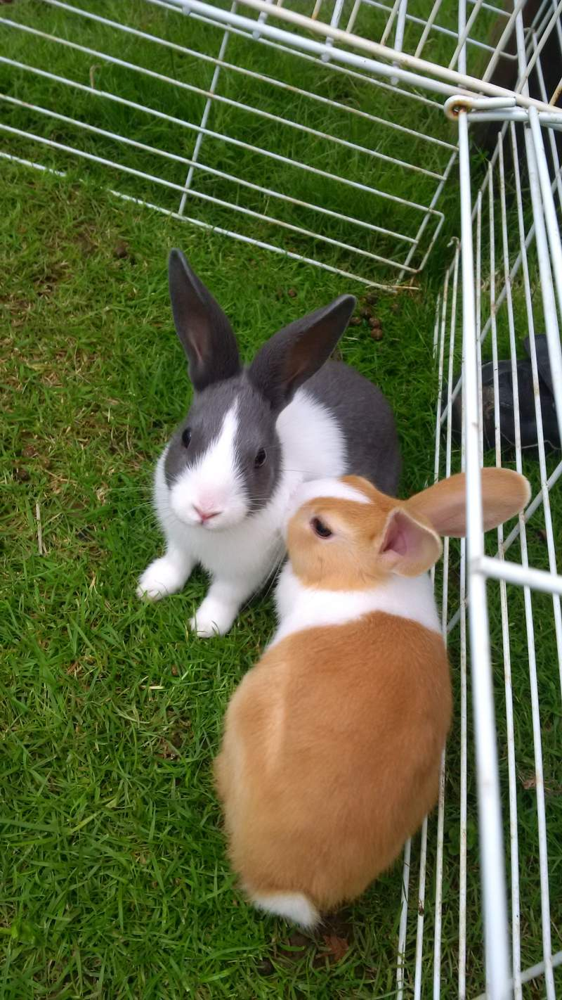 Pictures Of Rabbits For Sale : pictures, rabbits, Dutch, Rabbits, Breed, Information, Omlet