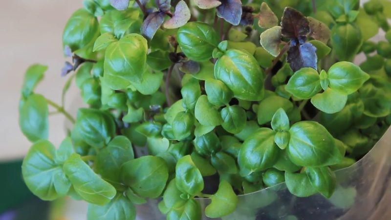 базилик зелень листья