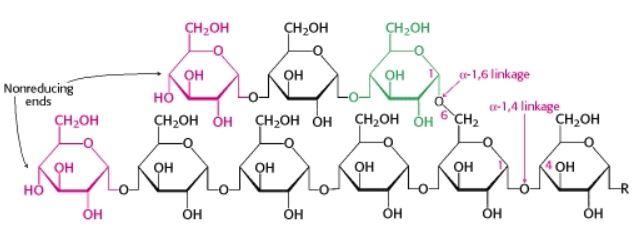 Glycogen, glucose, monosacharides