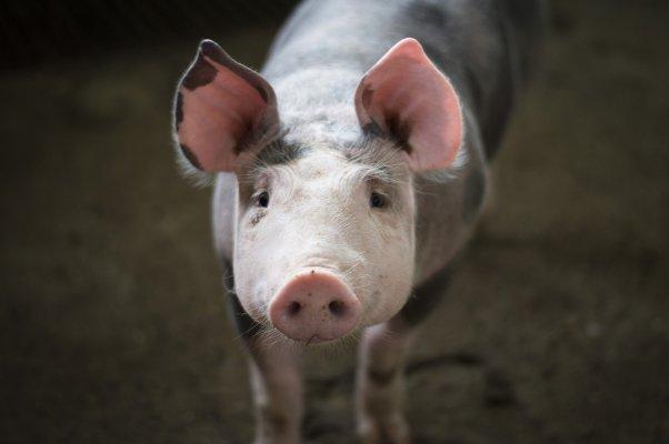 cochon-ferme-veganisme