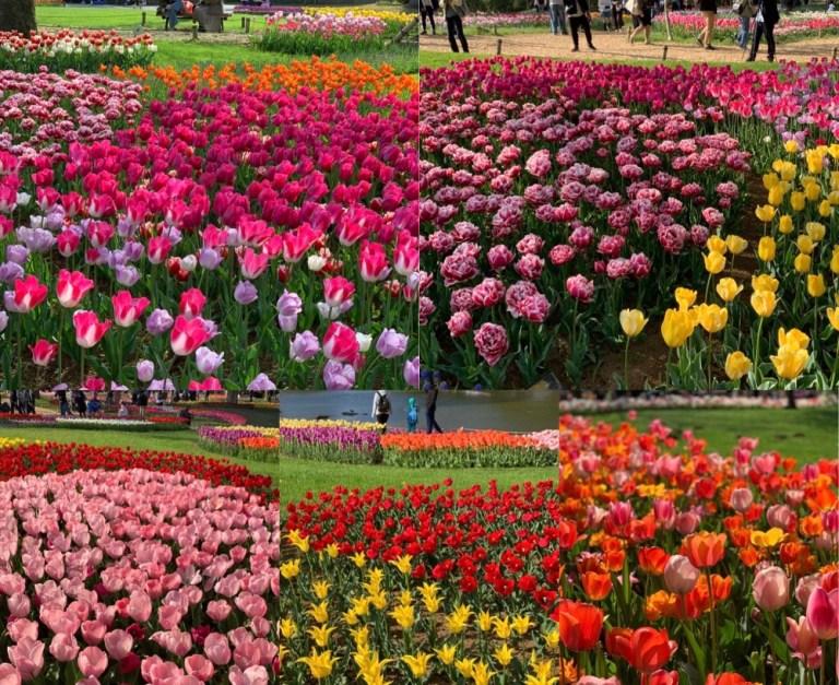 Must See Showa Memorial Park (Showa Kinen Koen) Tulip Garden: more than 200,000 Exotic Tulips in One Garden!!