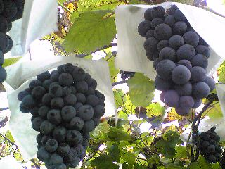 Muscat_grapes0912