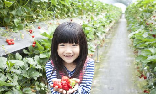 イチゴ狩りは早い時期がオススメ、練乳を用意していないイチゴ園は甘さに自信あり