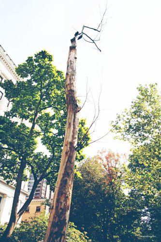 Bicentennial moon tree, Philadelphia