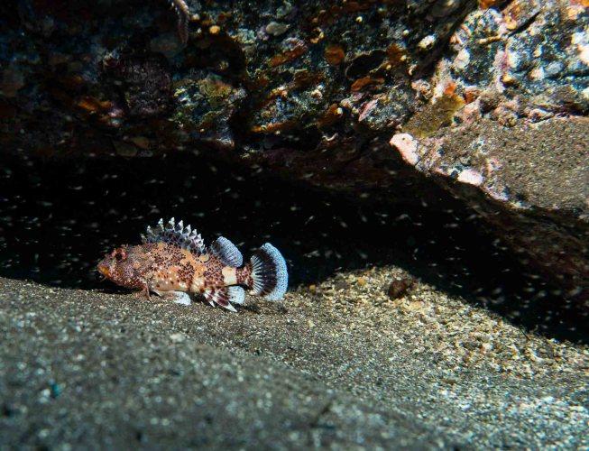 Madeira Drachenkopf