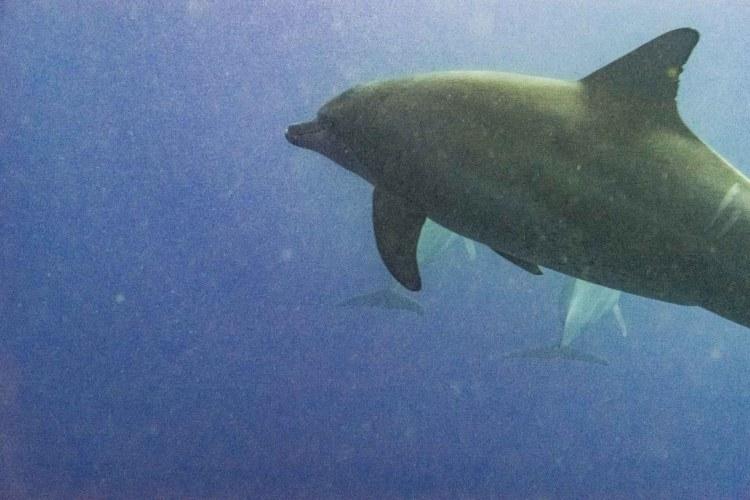 Tauchen mit Delfinen in Ägypten