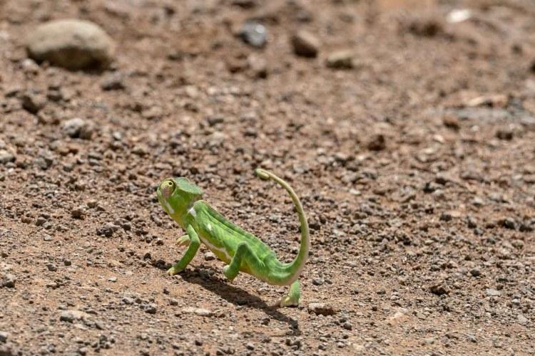Chamäleon in Amboseli