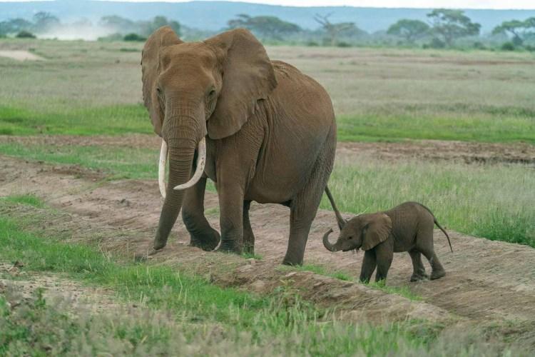 Elefant mit Baby in Amboseli