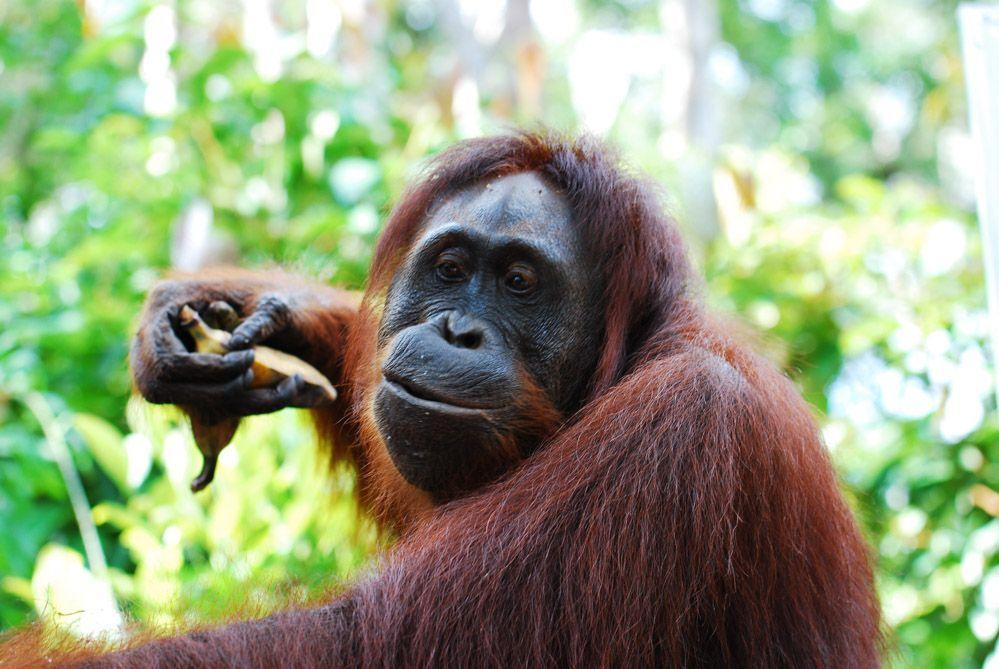 Orangutan-land-Borneo