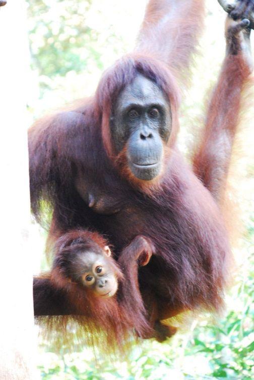 Orangutanes-Indonesia-Camp-Leakey