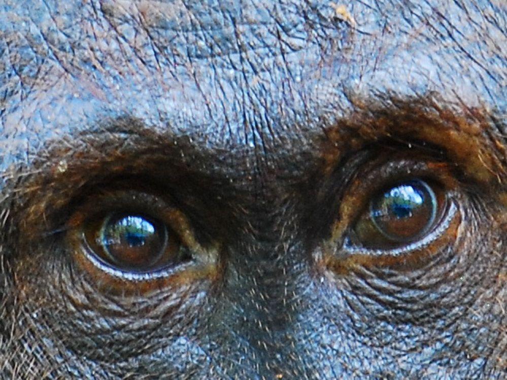 mirada-orangután