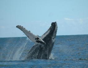 Las-playas-de-Samaná-ballenas