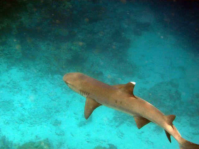 buceo-con-tiburones-Maldivas