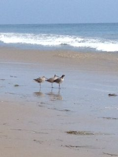 Willets on the Big Rock Beach