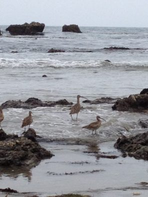 Whimbrels at Big Rock Beach