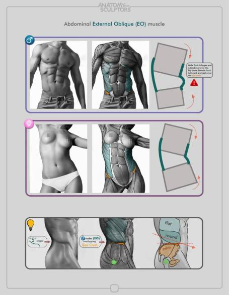 abdominal_extrenal_oblique_muscle_by_anatomy4sculptors-d6sop24