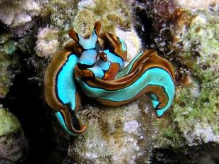 Thuridilla lineolata (sapsucking slug - not a nudibranch!). Image credit: Nick Hobgood (https://www.flickr.com/photos/globalvoyager/240466620)