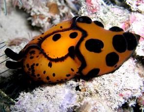 Berthella martensi (sidegill slug - not a nudibranch!). Image credit: Nick Hobgood (https://www.flickr.com/photos/globalvoyager/320327984)