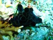 Coriocella nigra (velutinid - not a nudibranch!). Image credit: Silke Baron (https://www.flickr.com/photos/silkebaron/962898453)