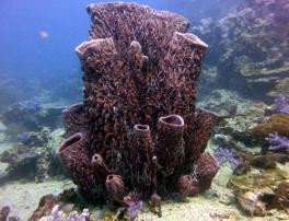 Barrel sponge. Image credit: http://www.aussiediversphuket.com/Colourfulcoral.aspx