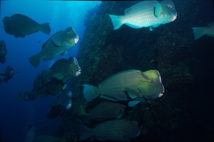 Bumphead parrotfish. Image credit: Klaus Stiefel (https://www.flickr.com/photos/pacificklaus/6327568501)
