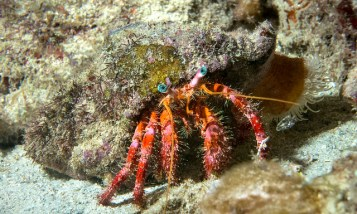 Hermit crab. Image credit: Coby Bidwell (https://www.flickr.com/photos/coby_bidwell/10355104845)