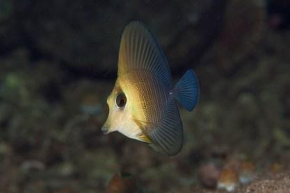 Juvenile brushtail tang. Image credit: perigor2000 (http://www.whatsthatfish.com/fish/brushtail-tang-juvenile/2018#3)